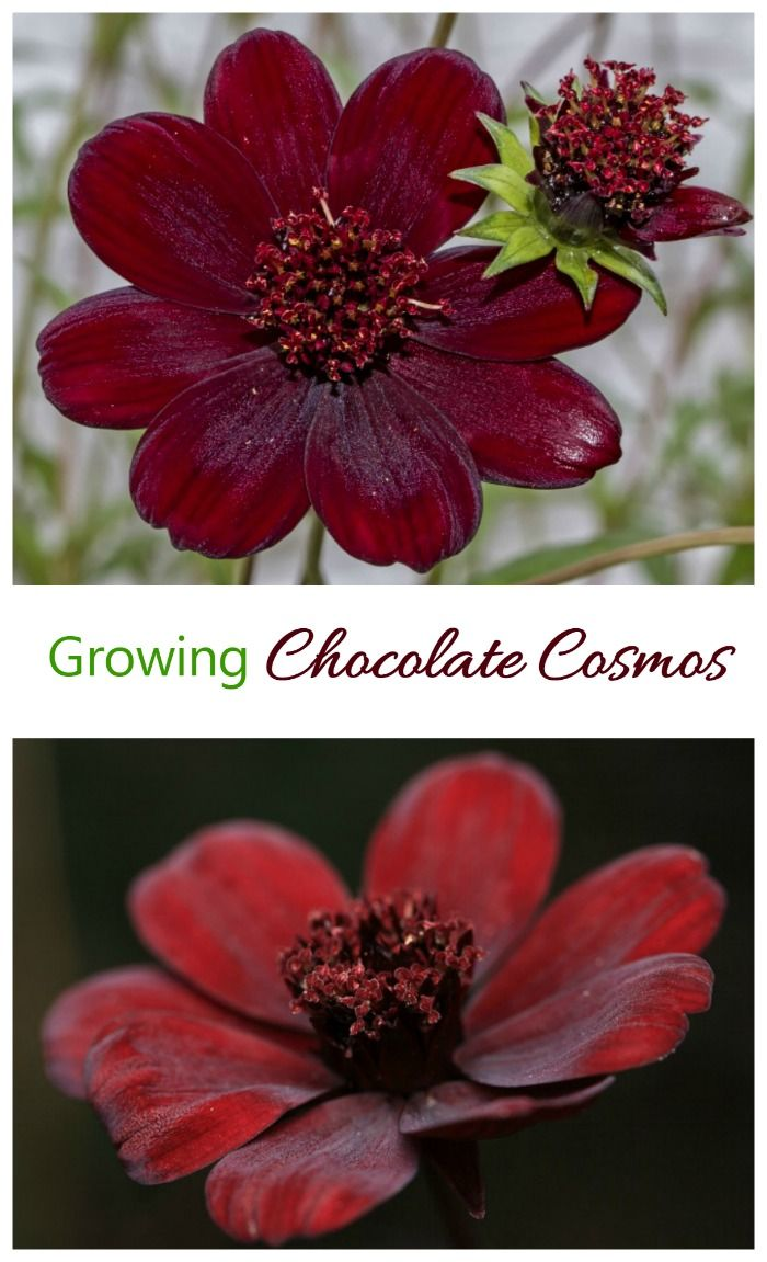 Chocolate Cosmos is one of the Rarest Flowers in the World ...