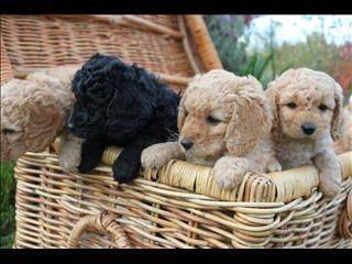 Spoodle Puppies Michelago Puppies Spoodle Cute Animals