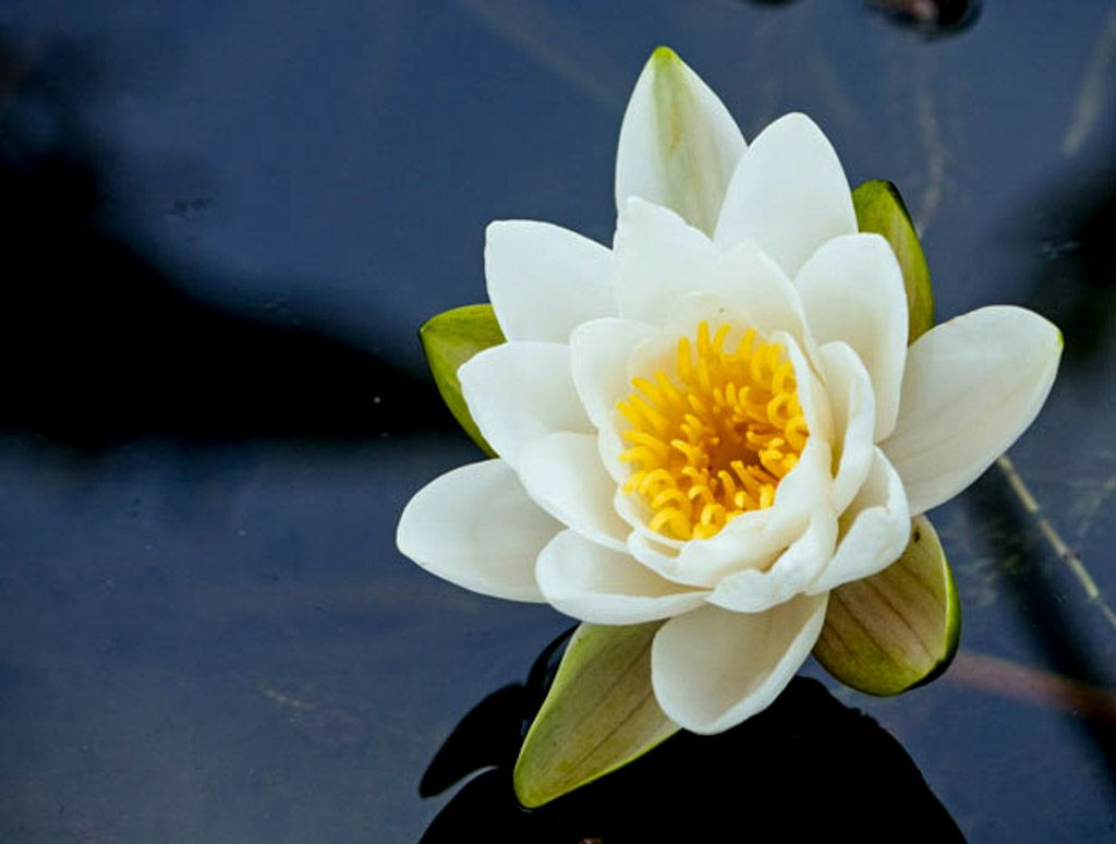 May birth flower lily prince florists may