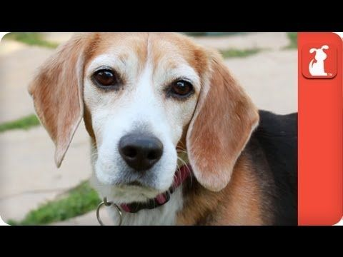 Inseparable Beagles Survive Years Of Animal Testing Tails Of