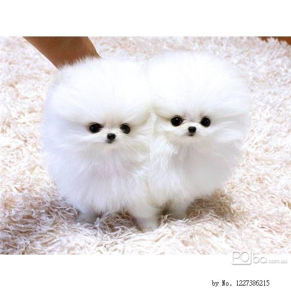 Miniature Pomeranian Puppies For Sale Tiny Teacup Pomeranian