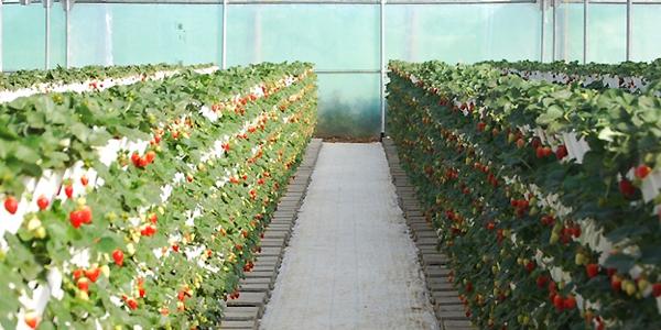 jorbær planter