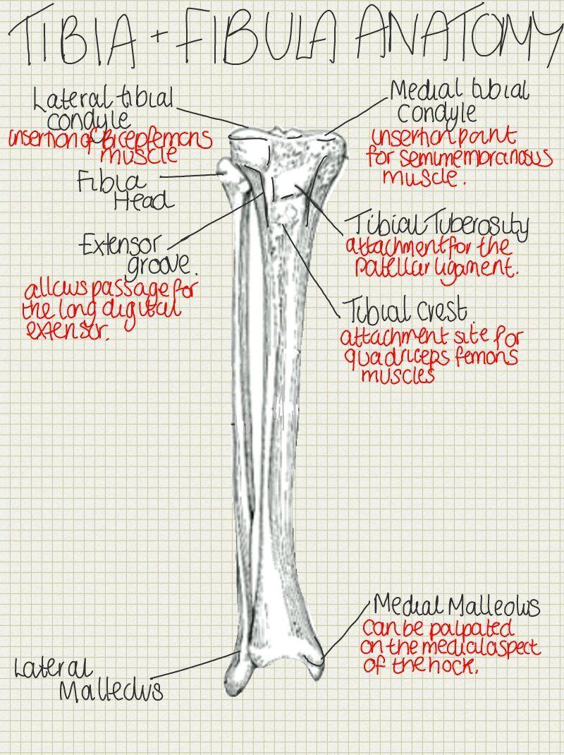 tibia and fibula anatomy for exams!