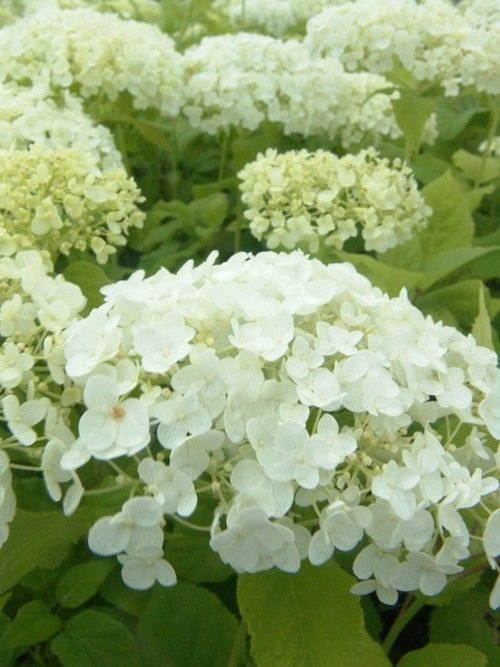 White Hydrangea I Put These Out This Summer Adore The Blooms Great For Indoors In A Vase Hydrangea Flower Flowers Landscaping With Rocks