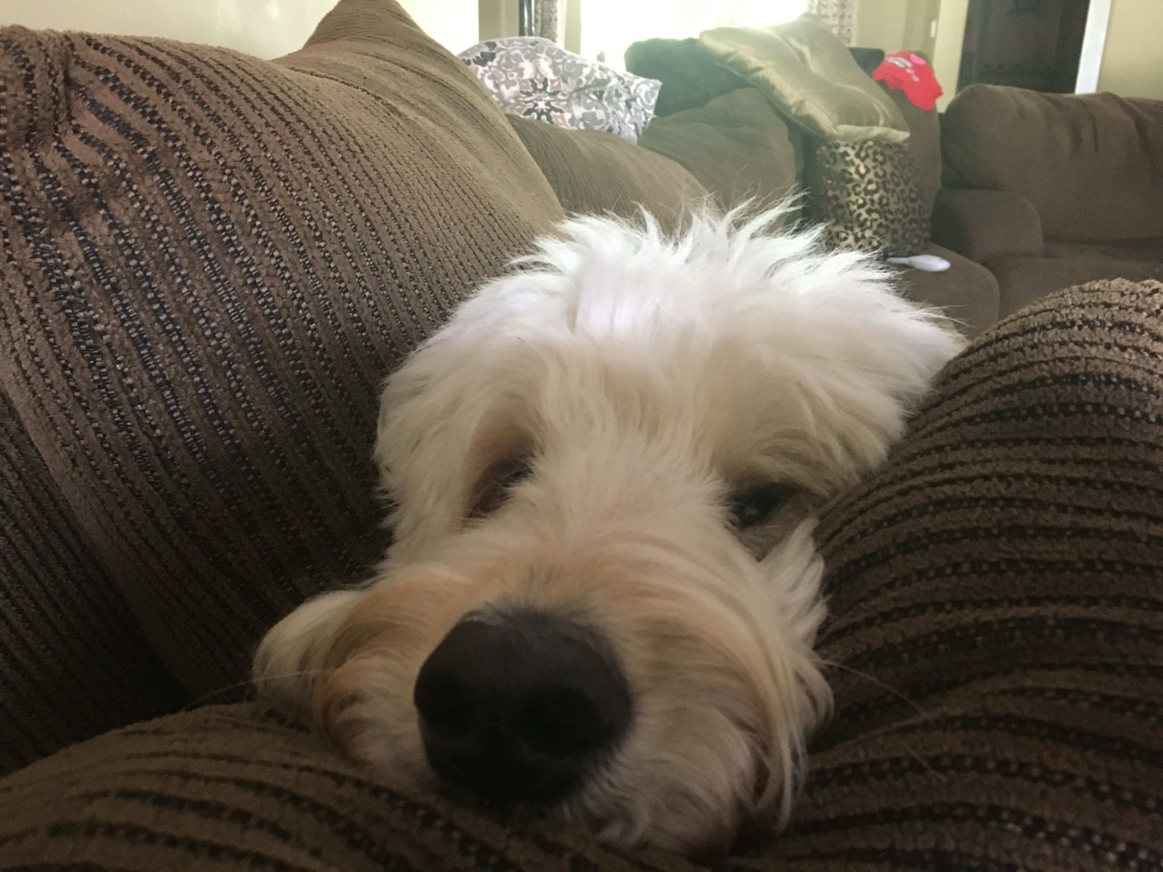 Love My Goldendoodle Oliver Stone Goldendoodle Dogs Cute Dogs
