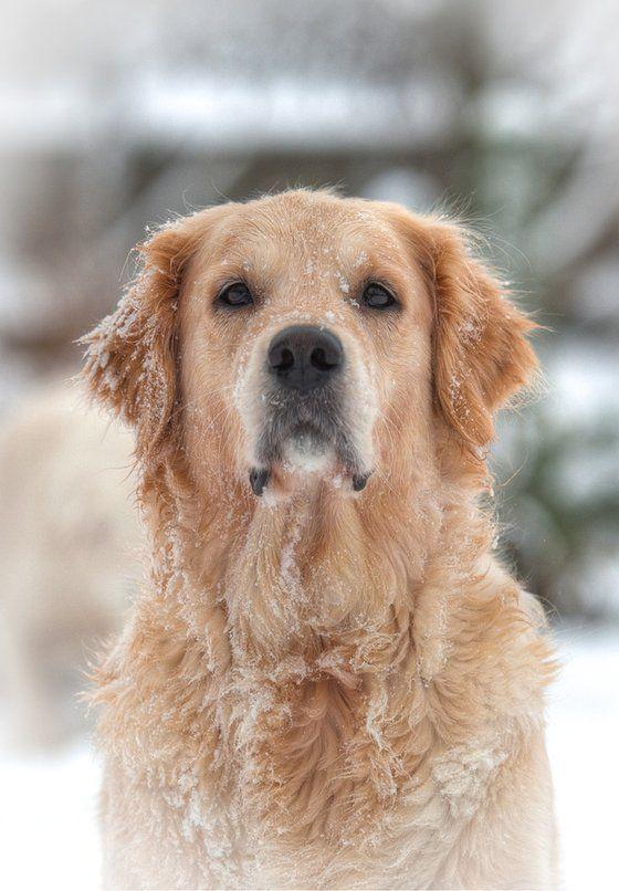 Golden Love Dogs Puppies I Love Dogs Golden Retriever Names