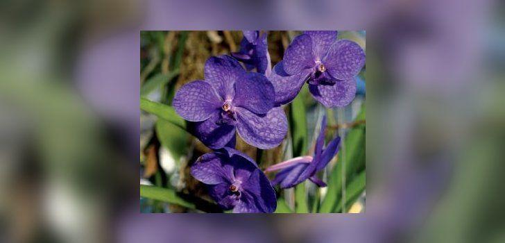 Vanda – õhus kasvav orhidee - Maakodu.ee