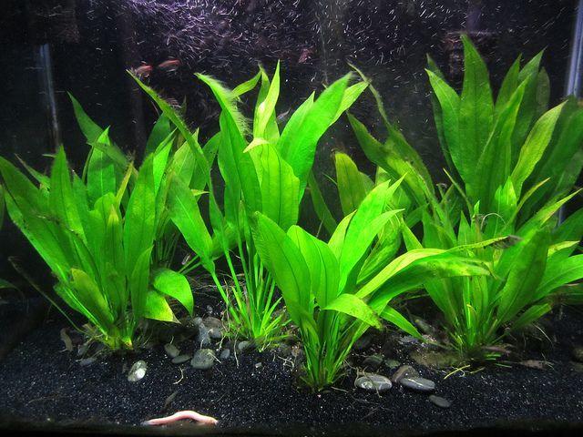 Amazon Sword Plant Planted Aquarium Freshwater Aquarium Plants Freshwater Plants