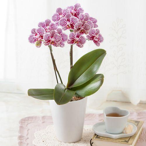 鉢植え「テーブル胡蝶蘭 リトルゼブラ2本立ち」 | 春の花(Spring ...