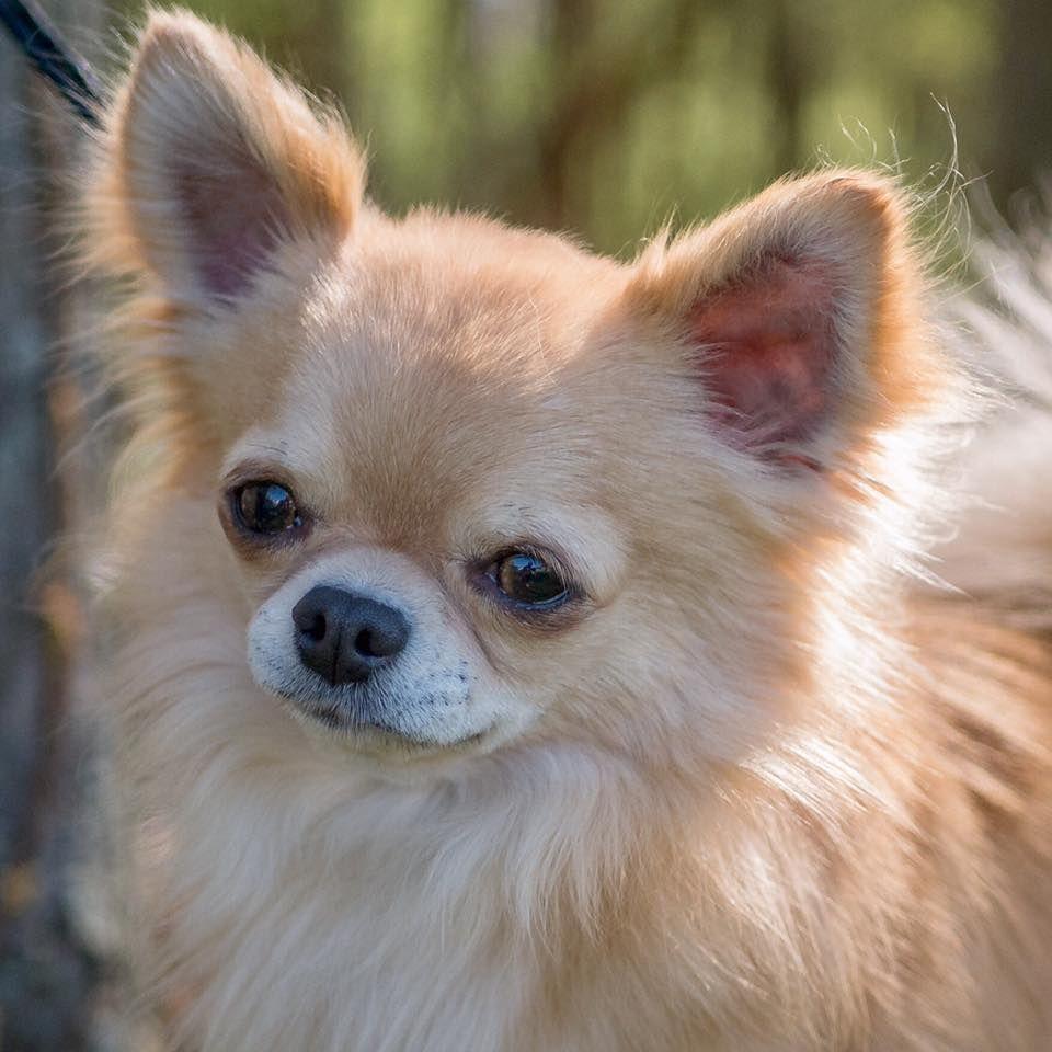 Chihuahua Chihuahua Chihuahua Love Chihuahua Dogs