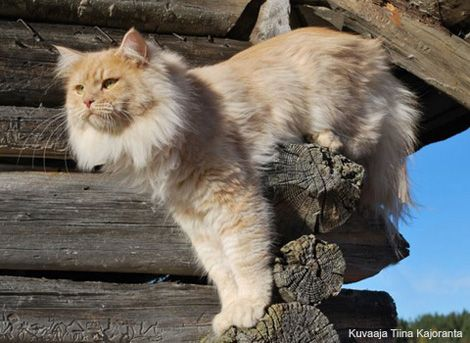 Siberia cat in Finland