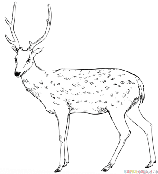 How to draw a white tailed deer step by step. Drawing ...