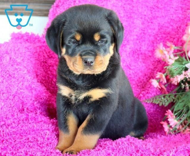 Sweetheart Rottweiler Puppies Rottweiler Puppies For Sale