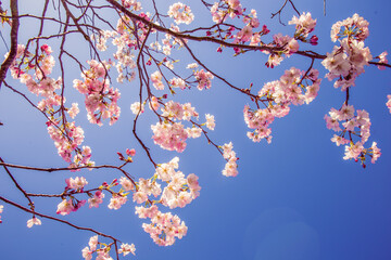 Stock Video Of Cherry Blossom In Spring Cherry Tree Spring Flowers At Adobe Stock Adobe Stock In 2021 Cherry Blossom Stock Photos Landscape Background