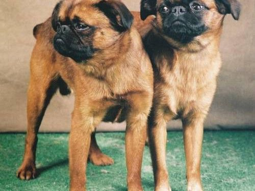 Small Brabant Griffon Griffon Dog Dog Breeds Dog Friends