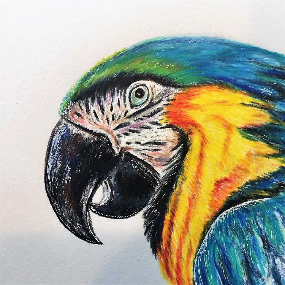 macaw drawing bird drawing macaw art bird art colored