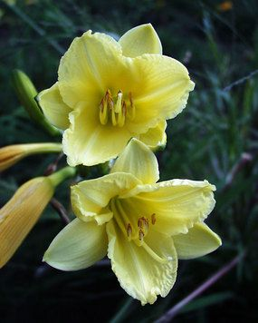 Hemerocallis Happy Returns   Fragrant, light yellow flowers all season long. An excellent dwarf continuous bloomer. Award winner; a cultivar of the long blooming classic, Stella de Oro; Fragrant.