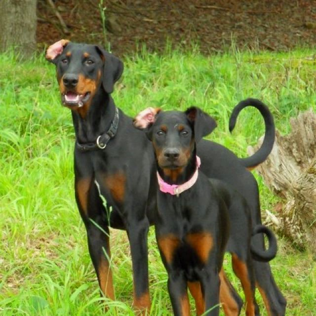 Natural Dobes No Cropping No Docking Doberman Puppy
