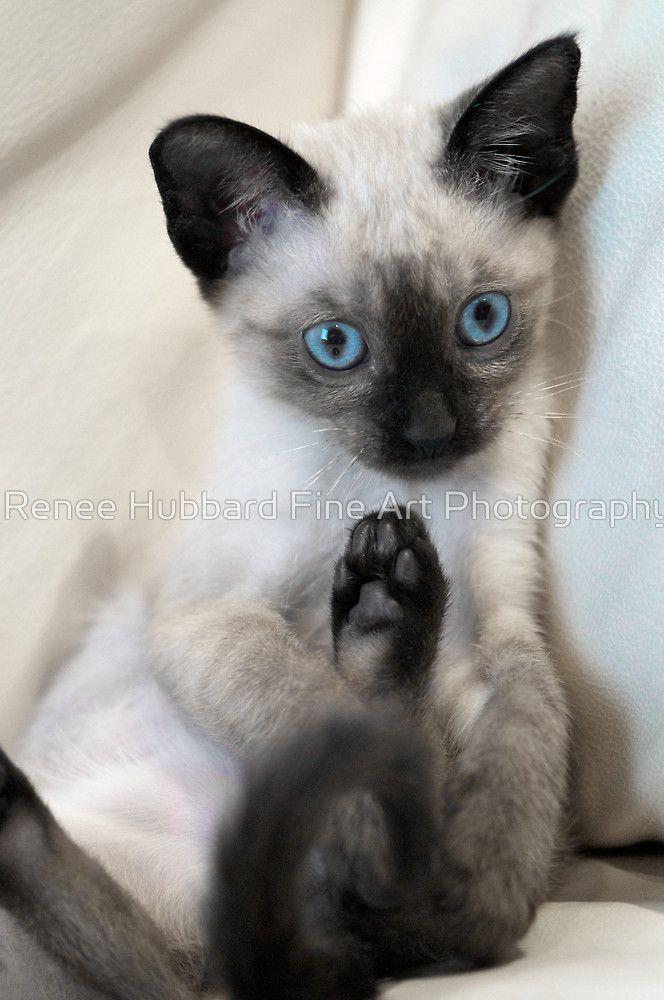 Hugo By Renee Hubbard Fine Art Photography Beautiful Cats Siamese Cats Pretty Cats