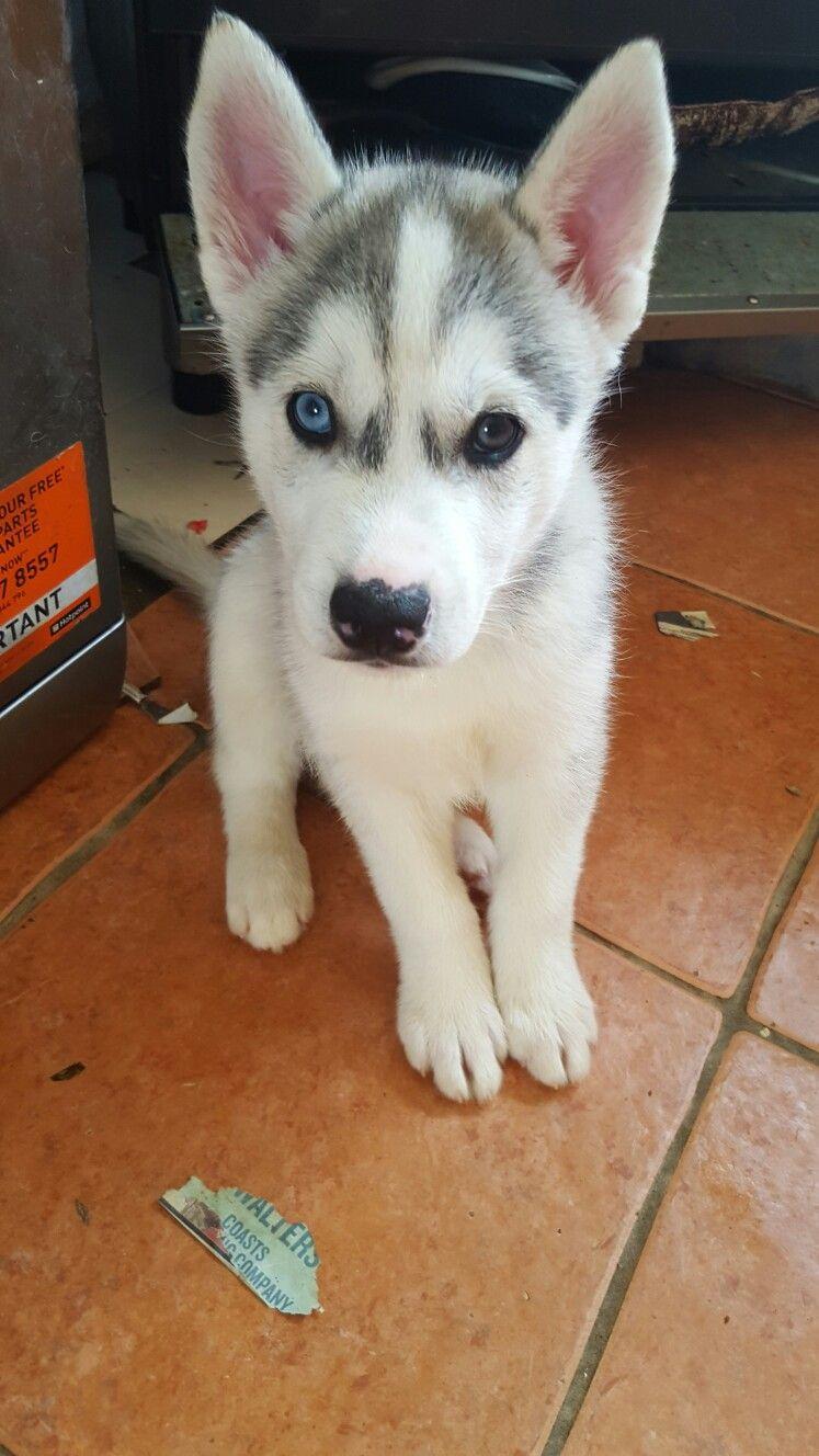 2 Months Old Husky Trying To Be Good Awh Siberian Husky