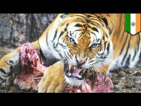 Pin on Man eating tiger on the Loose