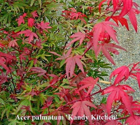 Acer Palmatum Kandy Kitchen Courtyard Garden Acer Palmatum