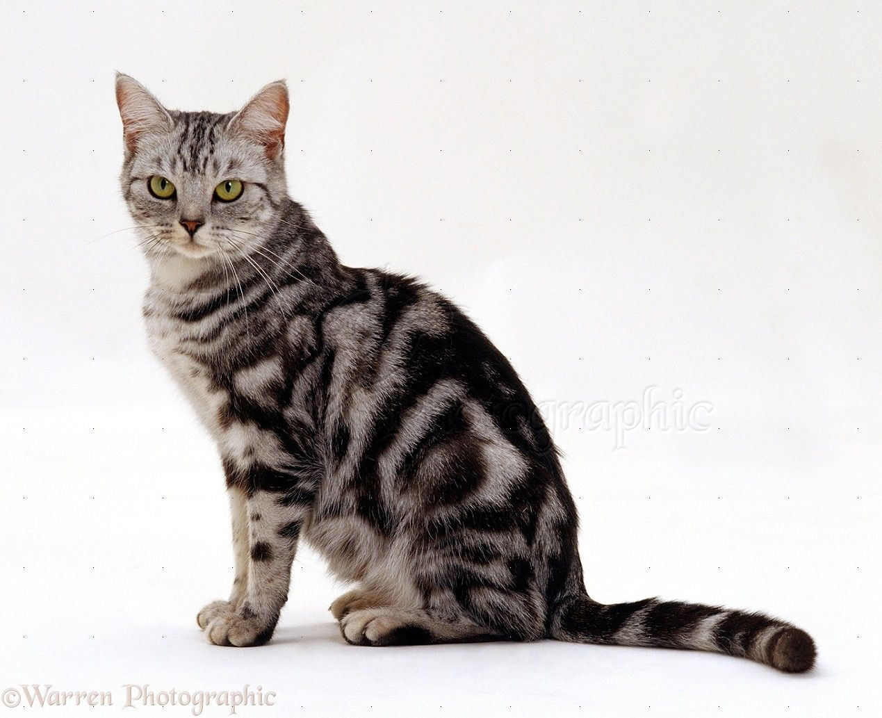 American Shorthair Cat Google Search British Shorthair Silver Tabby American Shorthair Cat Tabby Cat