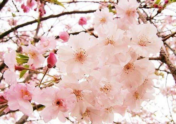Untuk Gambar Gambar Bunga Sakura Indah Langsung Saja Dilihat Di Bawah Sakura Cherry Blossom Blossom Cherry Blossom