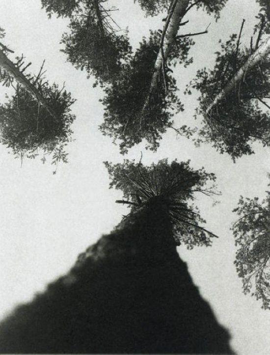 Сосны. Пушкино, 1927