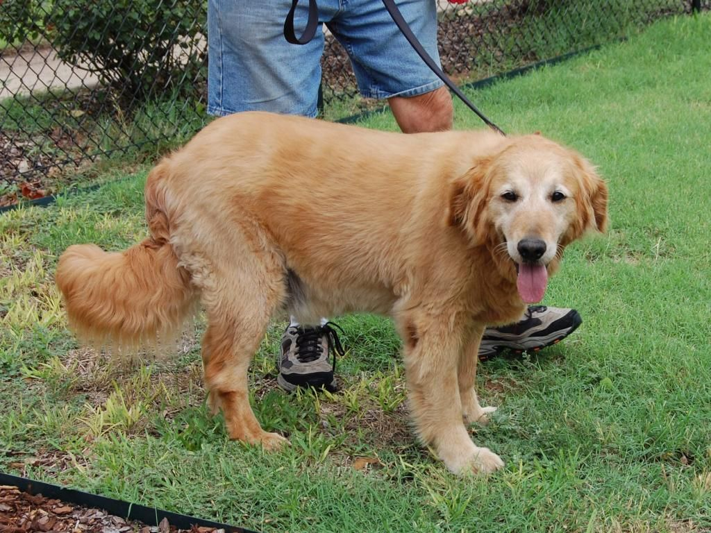 Hank is a 9 year old Golden Oldie. http//www