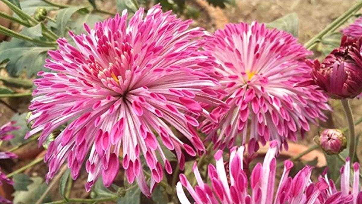 Pin By Jody Walsh On Chrysanthemum In 2020 Chrysanthemum Bloom Scientist
