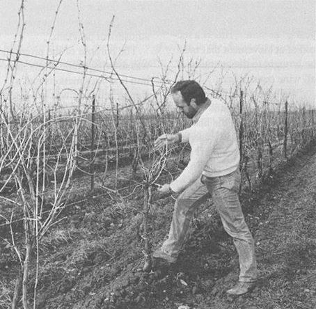 #ThrowbackThursday to Spring 1990! Grapegrower Albrecht Seeger is pruning his Chardonnay vines planted 15 years earlier, in 1975. #BetweenTheVines
