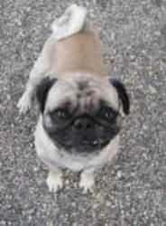 Tucker Is An Adoptable Pug Dog In Winona Mn This Gentle Giant Is