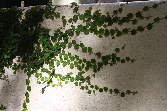 Climbing Fig Vine Creeping Fig Climbing Plants Trellis