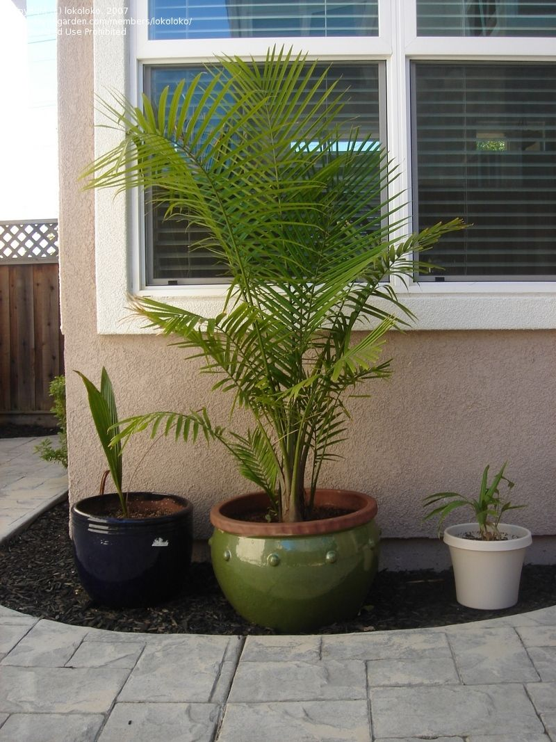 Majesty Palm Ravenea Rivularis These Little Palms Do