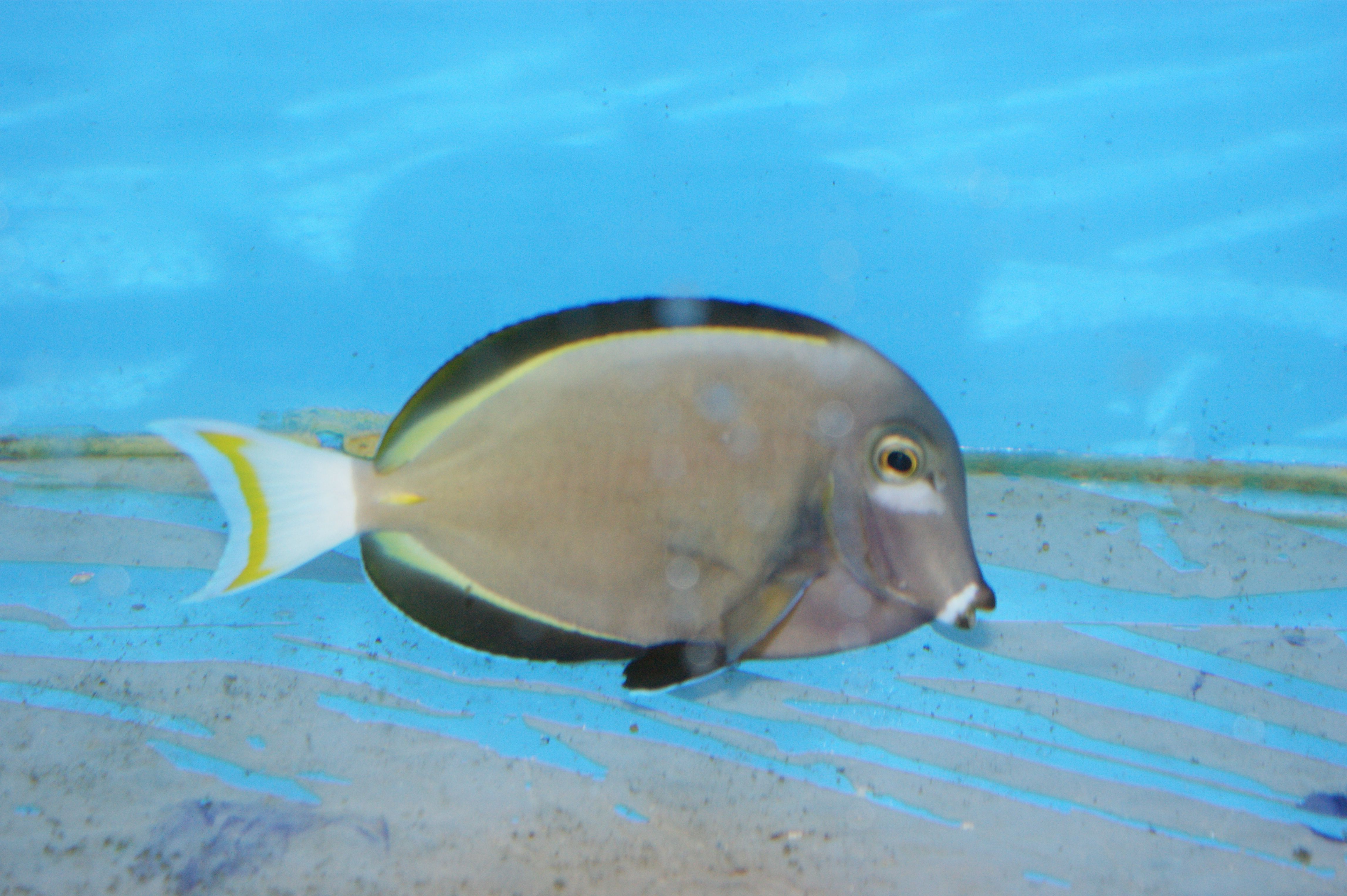 Powder Grey Tang Acanthurus Nigricans For More Information Or A Complete Price List Please E Mail Contactus Wholemarine Com Fish Pet Tropical Fish Fish
