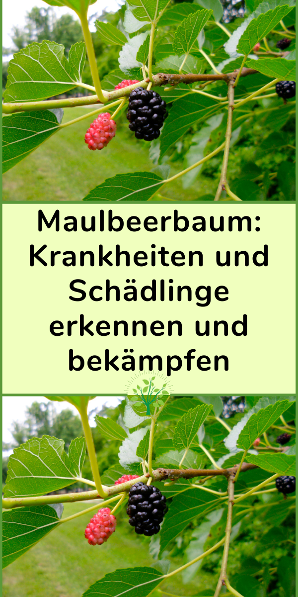 Maulbeerbaum Krankheiten Und Schadlinge Erkennen Und Bekampfen In 2020 Plants