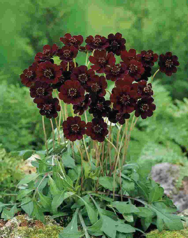 Cosmos Atrosanguineus Chocolate Cosmos Fragrance Of Dark Chocolate Sun Zones 8 9 Fragrant Flowers Chocolate Cosmos Autumn Garden