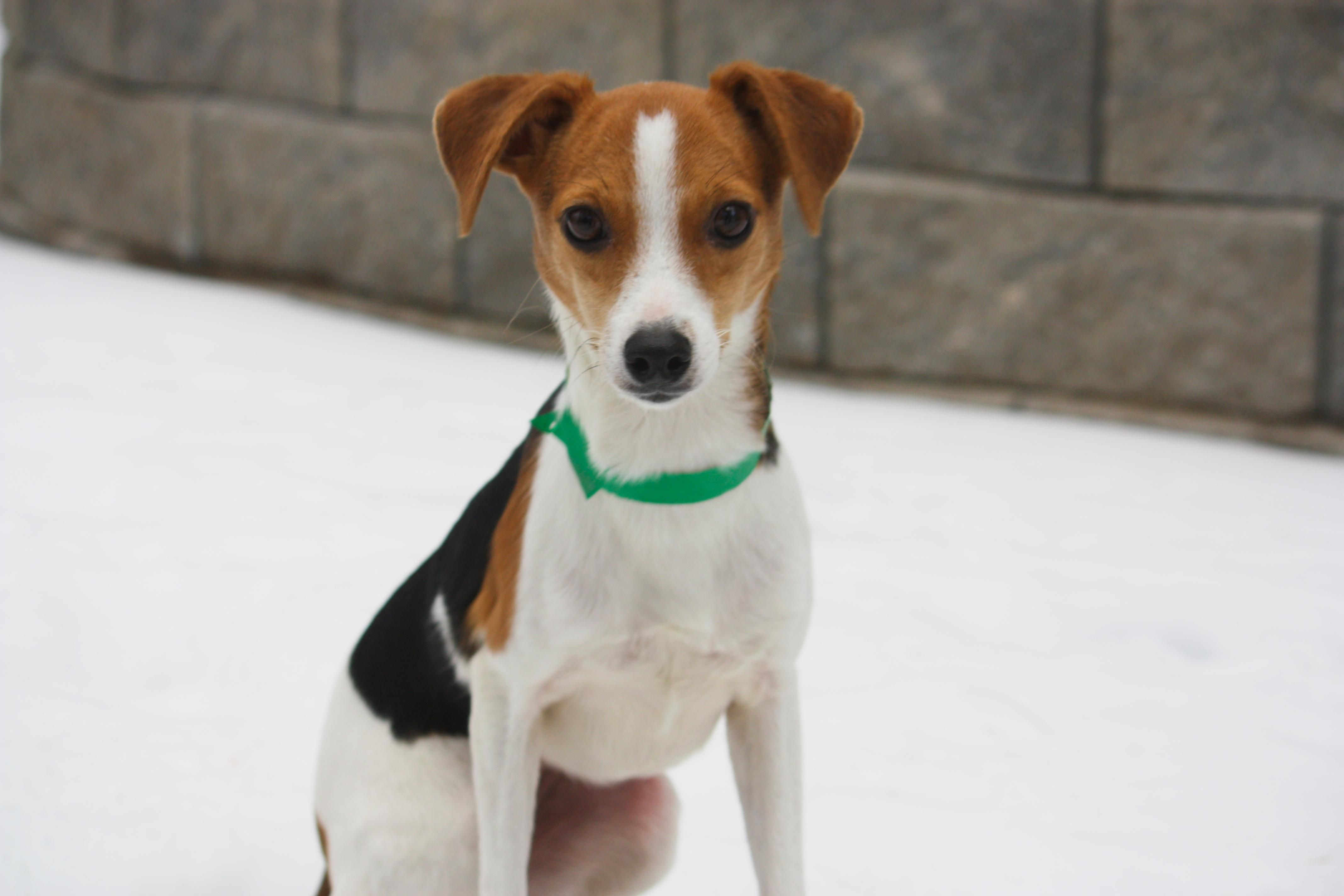 Whitney is an adoptable Chihuahua, Beagle Dog in New