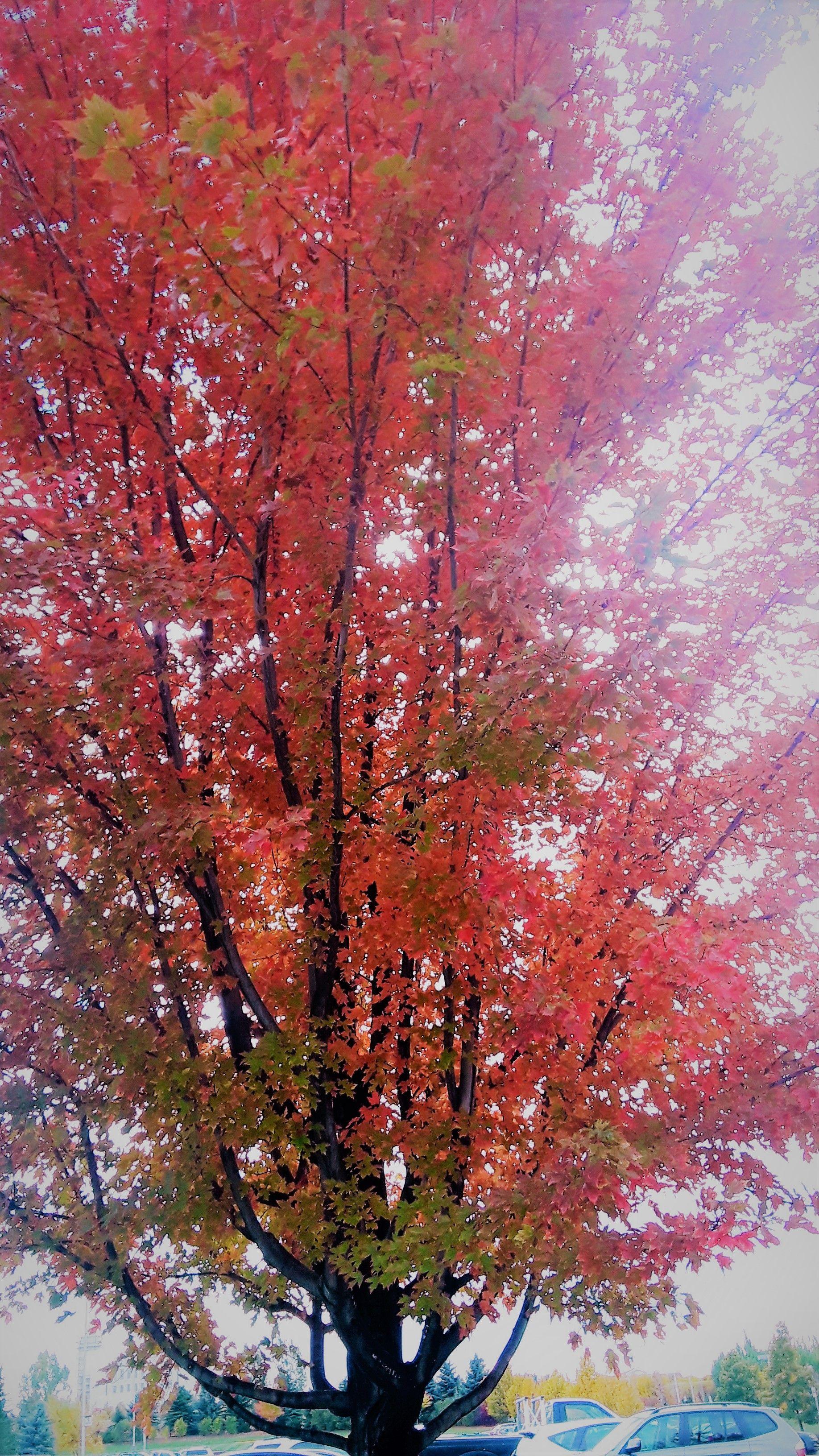 Acer X Freemanii Jeffersred Autumn Blaze Maple Zone 4 30 40 Ft