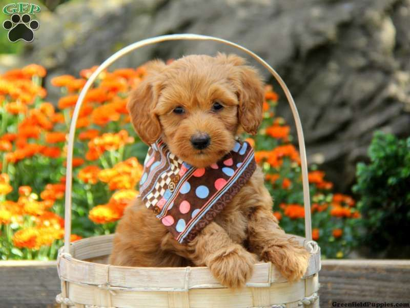 Labradoodle Miniature Puppies For Sale In Pa Labradoodle