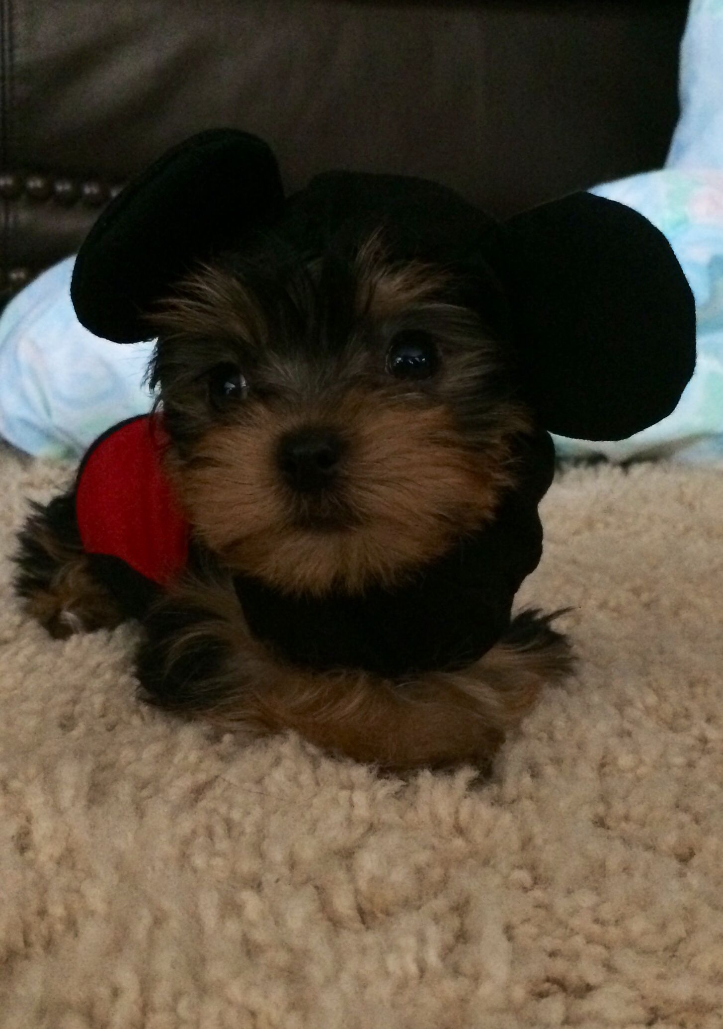Shredder as Mickey Mouse Yorkie, Puppies, Doggy