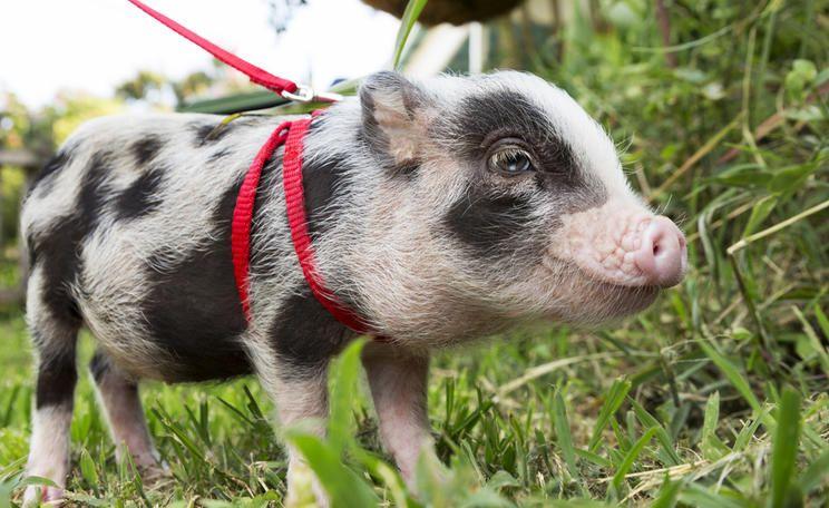 Hausschwein Halten