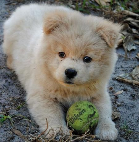 Akita Chow Mix 3 With Images Akita Puppies Cute Baby Animals