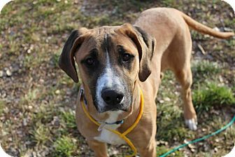 Boxer Great Dane Mix Dog For Adoption In Canon City Colorado