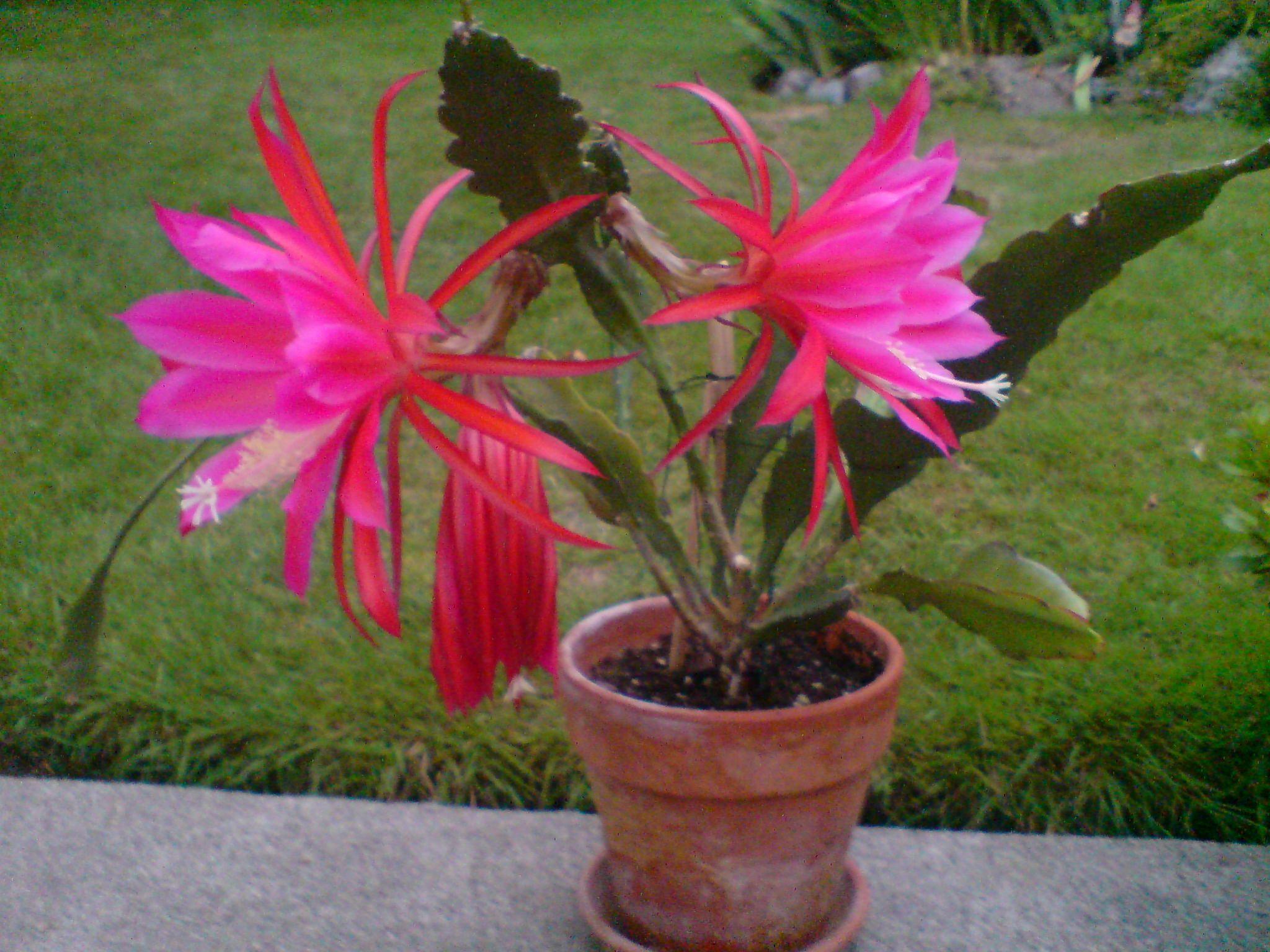 Flowers unique flowers beautiful flowers orchid cactus cactus flower - Epiphyllum Cactus On Steroids Orchid Cactussucculent Plantscactigarden Whimsyhanging Basketpretty Flowersgabrielsucculentssucculent