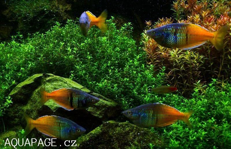 Pin by Trust eMedia on Fish | Aquarium Fish, Rainbow fish ...