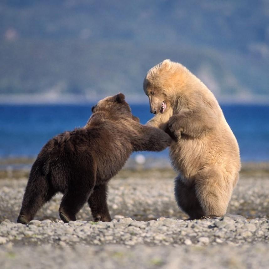 картинки бурого и белого медведей