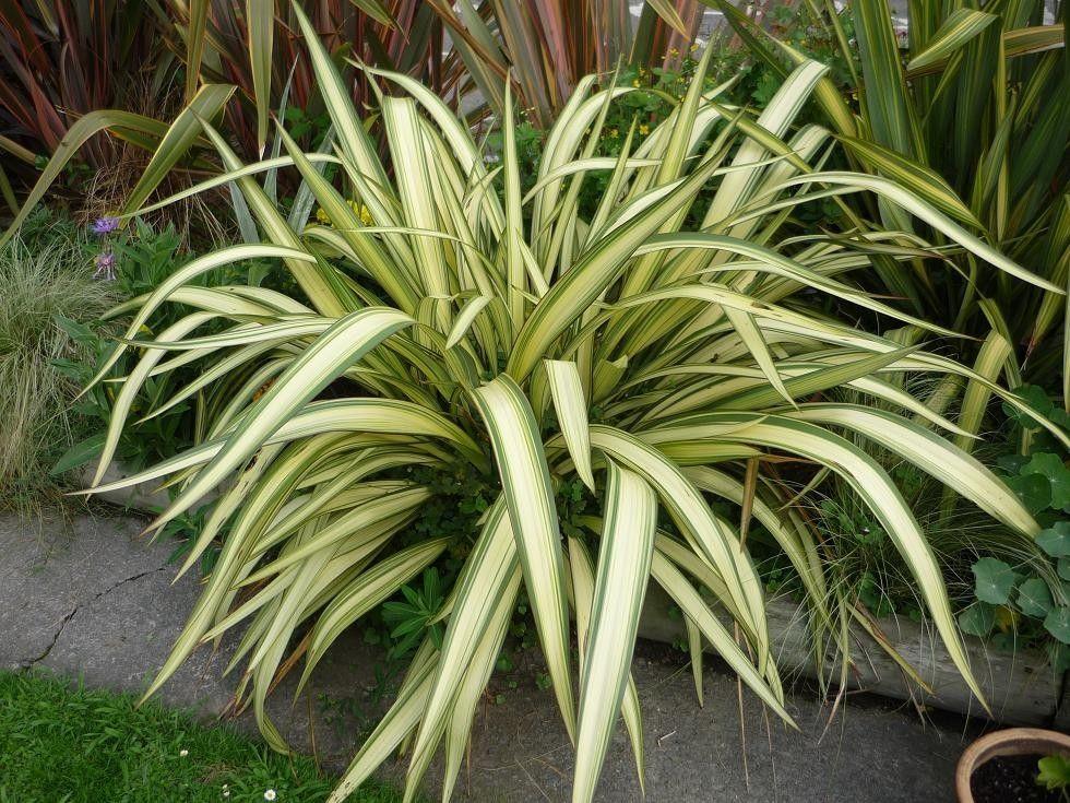 Phormium Cookianum Cream Delight New Zealand Flax Plants Architectural Plants New Zealand Flax