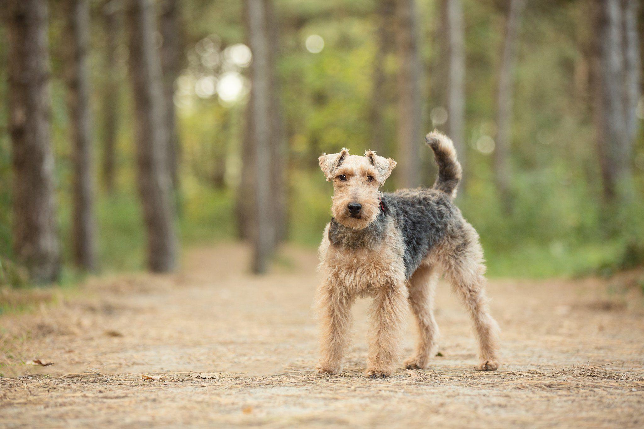 Pin by Ingrid on Welsh Terriers Welsh terrier